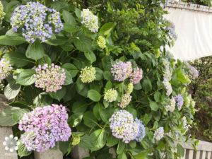 こんぴらさん紫陽花