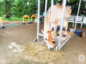 ジャージーランド 牛