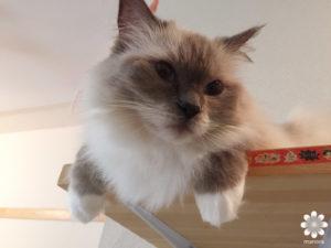 猫カフェロンロン ミルク