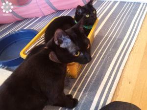 姫路 猫カフェ cat cafe ねこびやか -黒猫cm-04