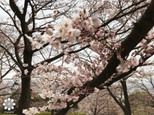 半田山植物園 桜