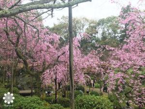 平安神宮枝垂れ桜1