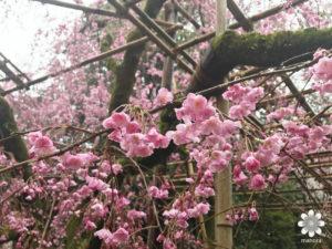 平安神宮枝垂れ桜2