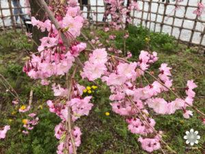 嵐山枝垂れ桜