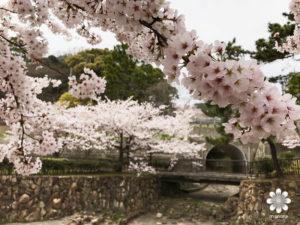 須磨浦公園 桜