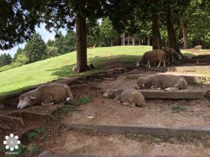 六高山牧場の羊