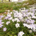 半田山植物園ハナニラ