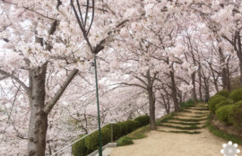 半田山植物園の桜